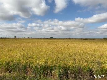рисовое поле 2